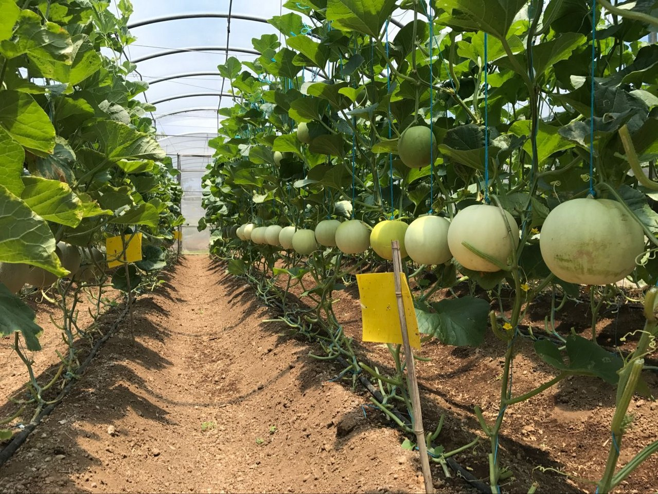 The Chinese Agricultural Technical Mission Introduced Cantaloupe Successfully on the Portsmouth Agricultural Station