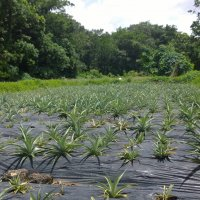Tissue Culture Pineapple Plots